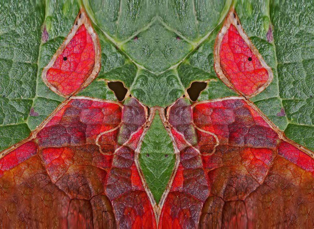 Spiegelung eines parasitierten angefressenen Blattes... - Une feuille parasitée...