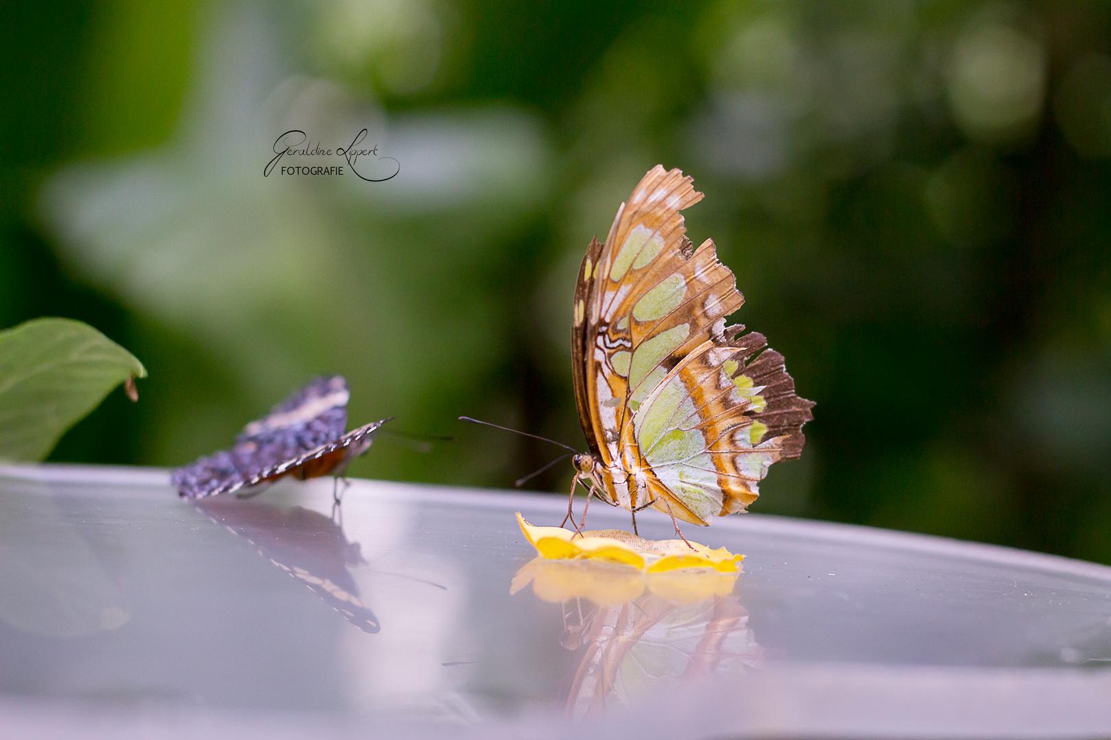 Spiegelung Schmetterling