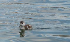 Spieglein Spieglein auf dem Wasser, wer ist die schönste Ente