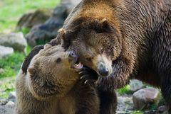 Spielende Braunbären
