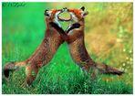 Spielende Füchse ( Vulpes vulpes )
