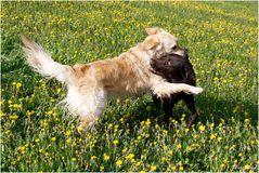Spielende Hunde am  Deich