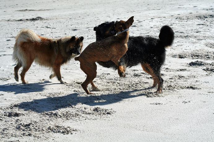 spielende hunde II
