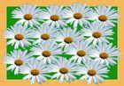 Spielereien mit einer Margaritenblüte