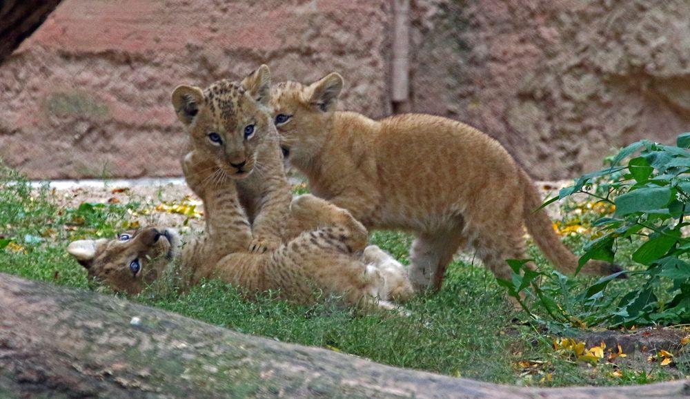 Spielstunde beim Löwennachwuchs...