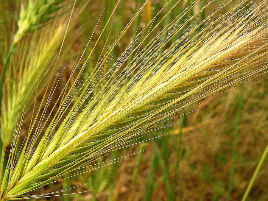 Spiga di grano