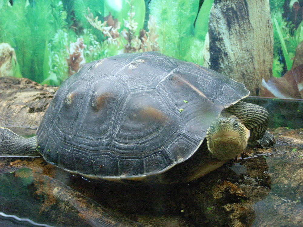 Spiki die chinesische Streifenschildkröte