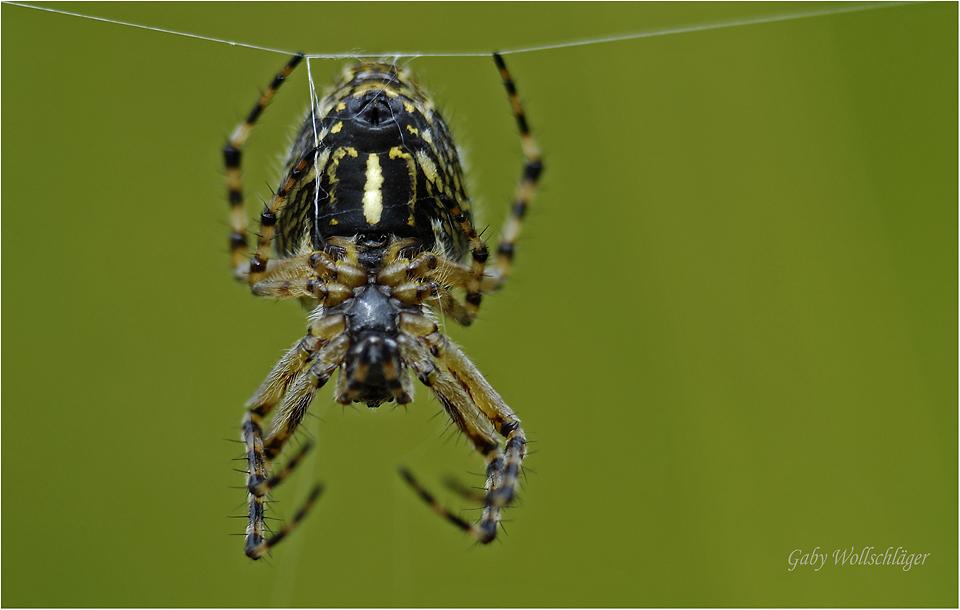 Spinndrüsen...