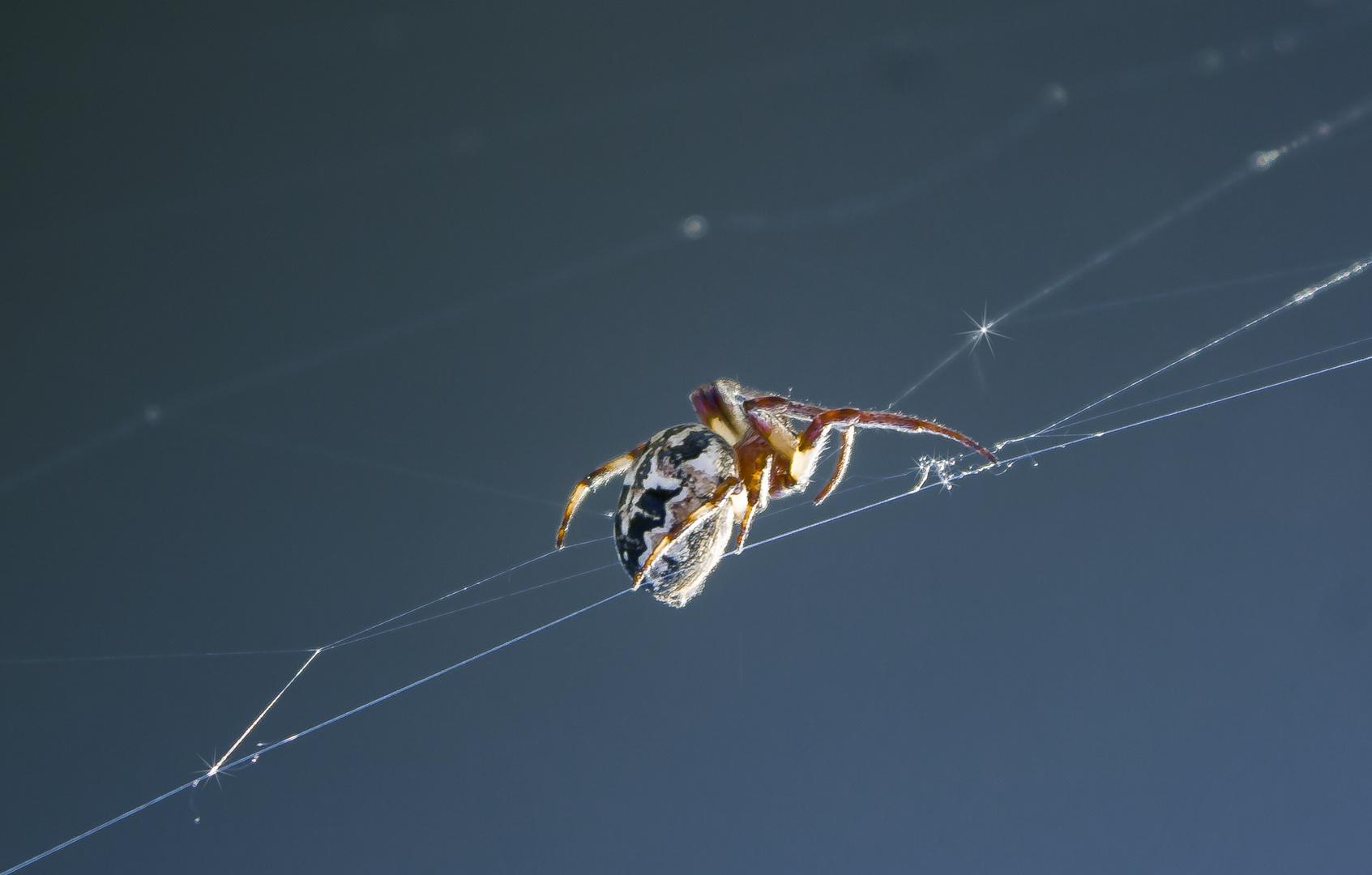 Spinne am spinnen