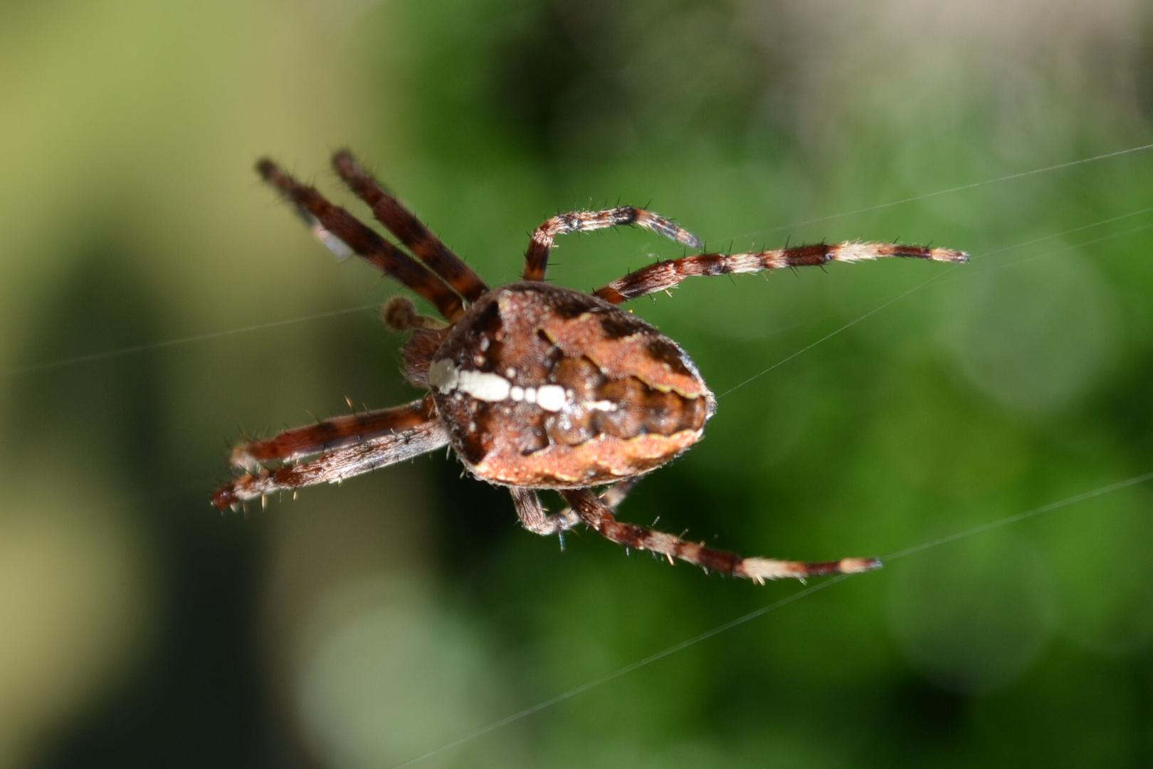 Spinne am Tag