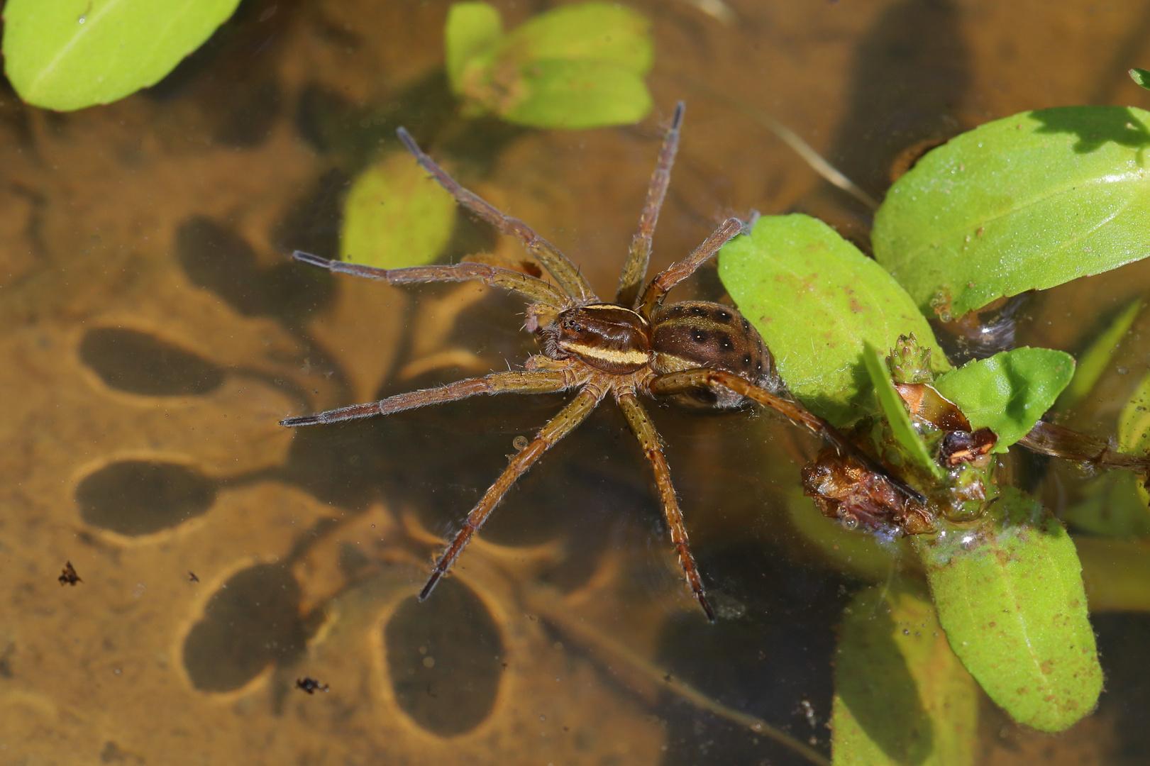 Spinne auf dem Wasser