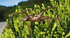 Spinne auf einer Thujenhecke!