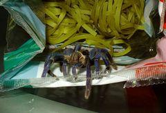Spinne auf Nudeln 2