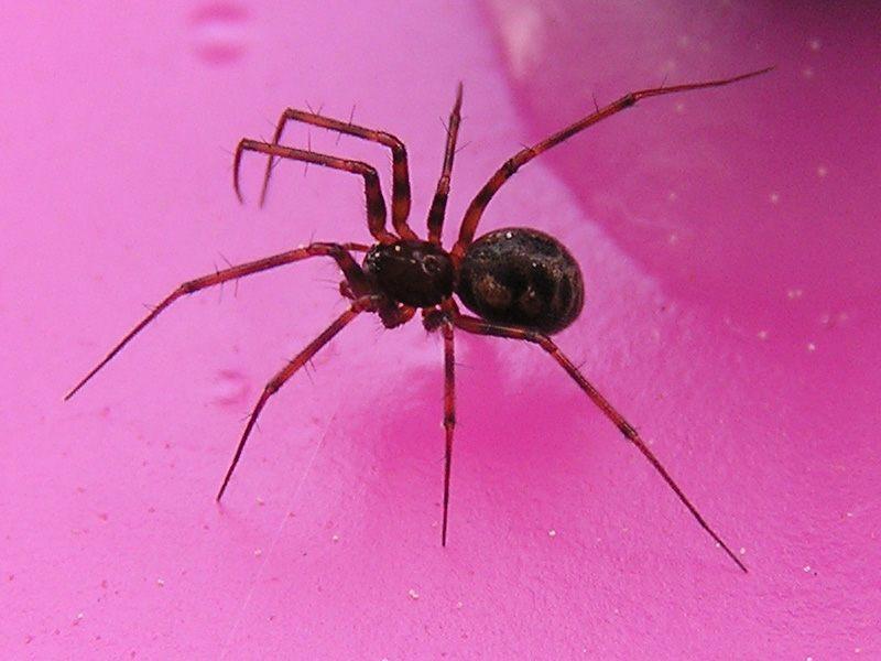 Spinne auf rosa Grund