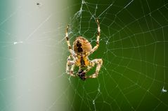 Spinne bei uns im Garten
