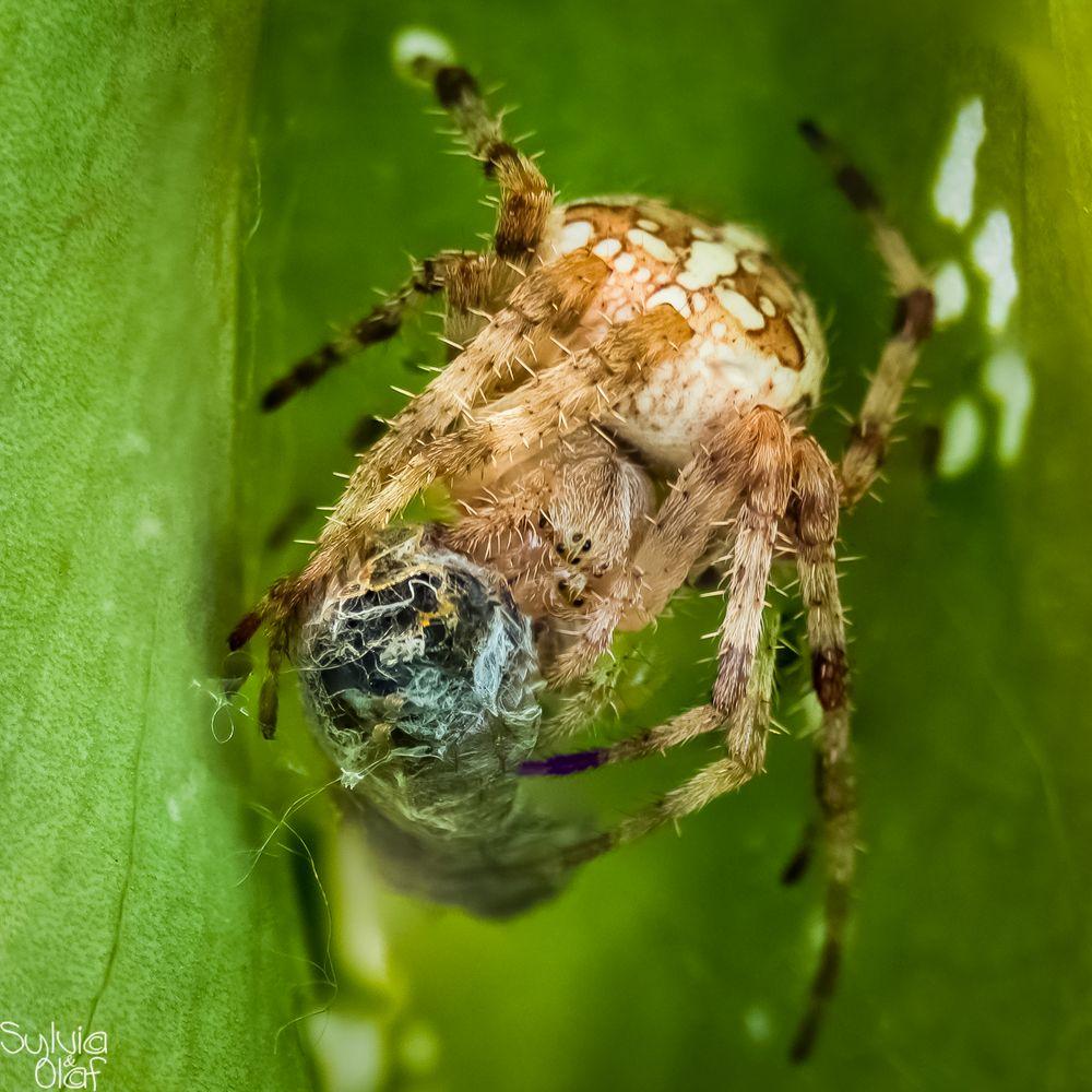 Spinne beim Fressen
