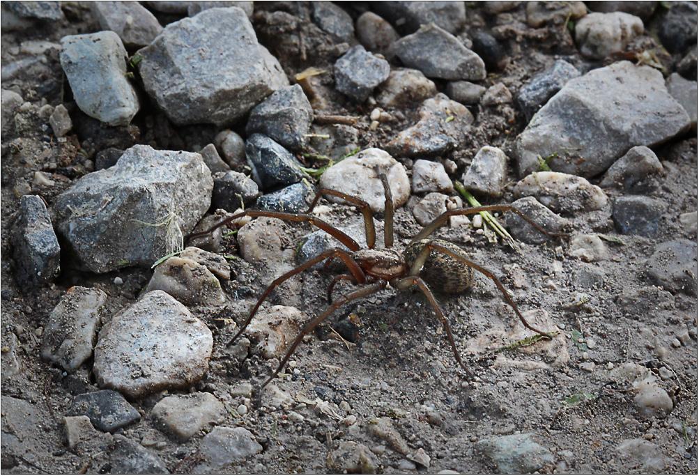 Spinne beim Spazierengehen