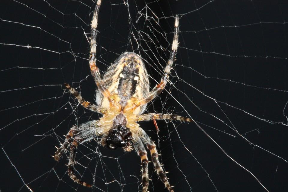 Spinne beim Vertilgen einer Ameise