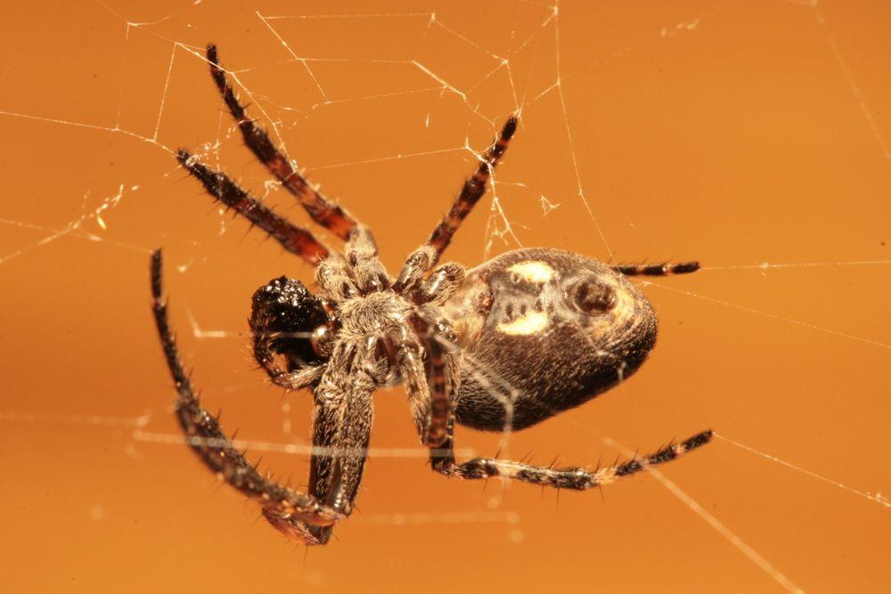 Spinne beim Verzehr