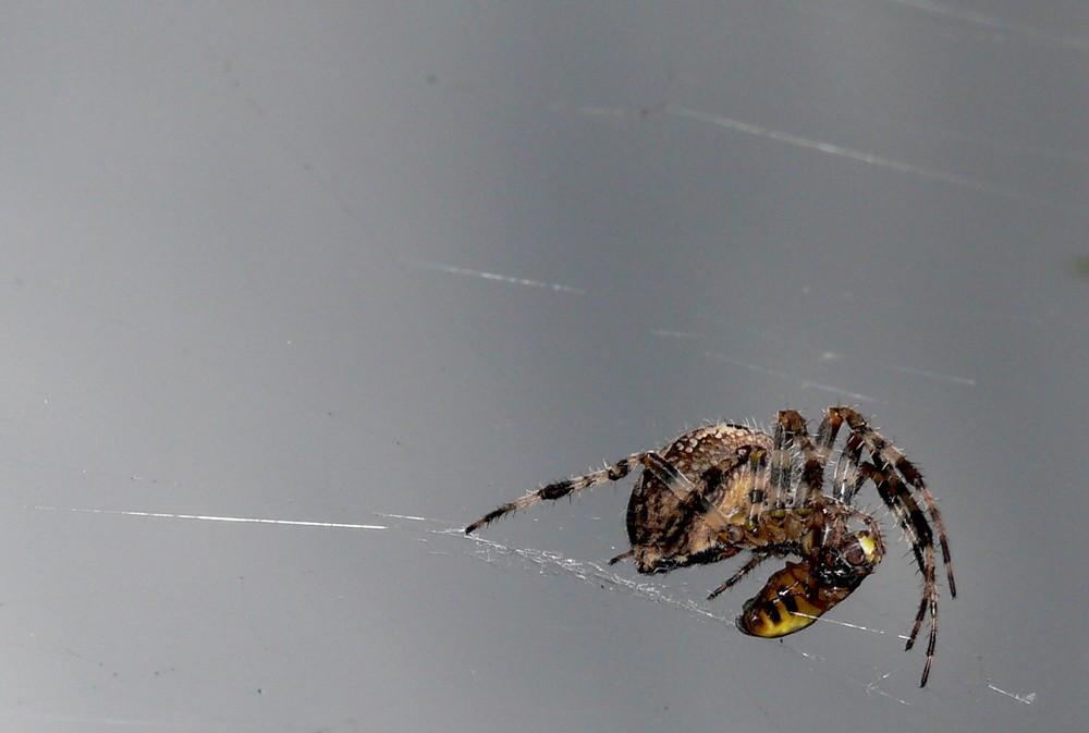 Spinne beutet wespe