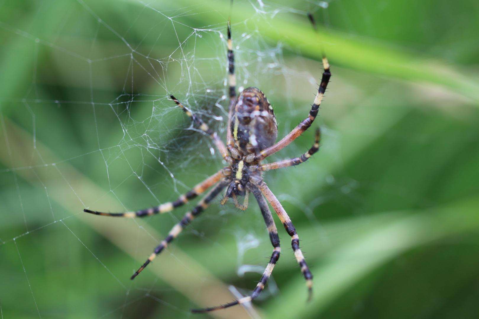 Spinne Gelb-Schwarz gestreift im Netz