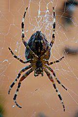 Spinne im Netz vor meinem Fenster