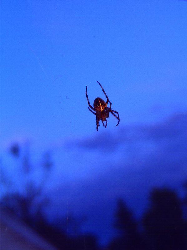 Spinne in der Dämmerung
