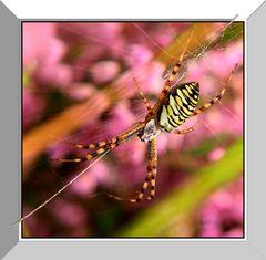 Spinne in Heide