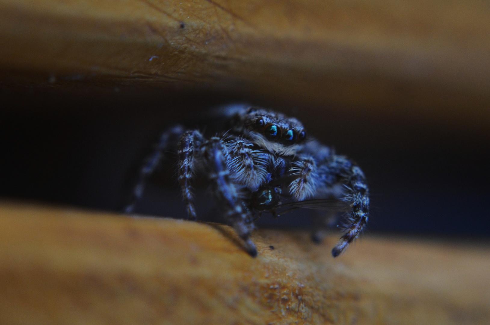 Spinne isst Fliege zum Abendessen