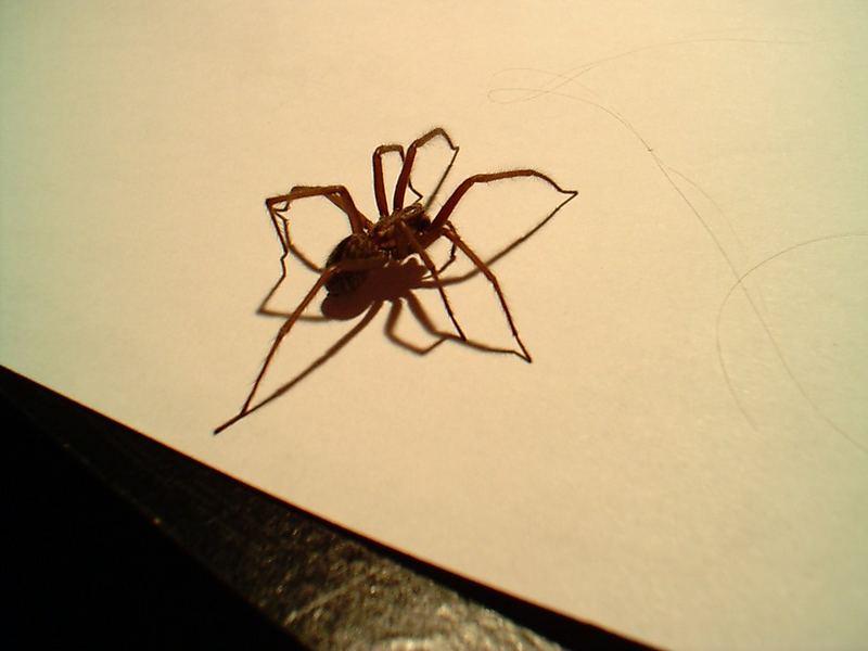 Spinne mit 16 Beinen