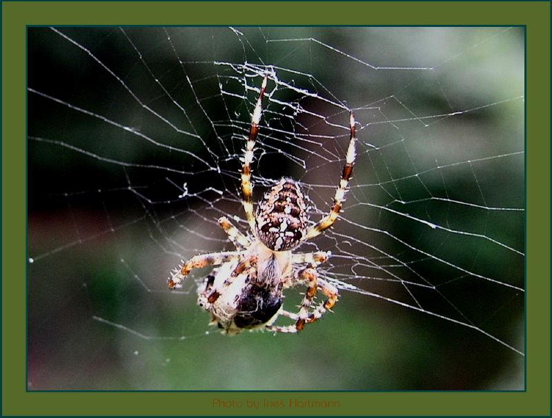 Spinne mit fetter Beute