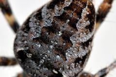 Spinne mit Fönfrisur