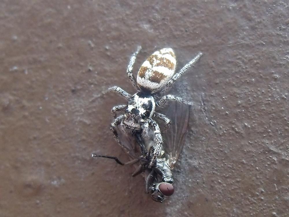 Spinne mit ihrer Beute