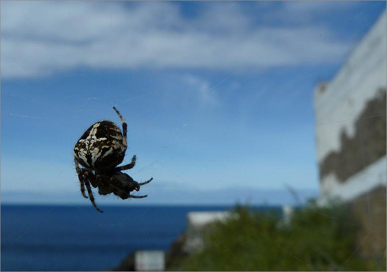 Spinne mit Meerblick...