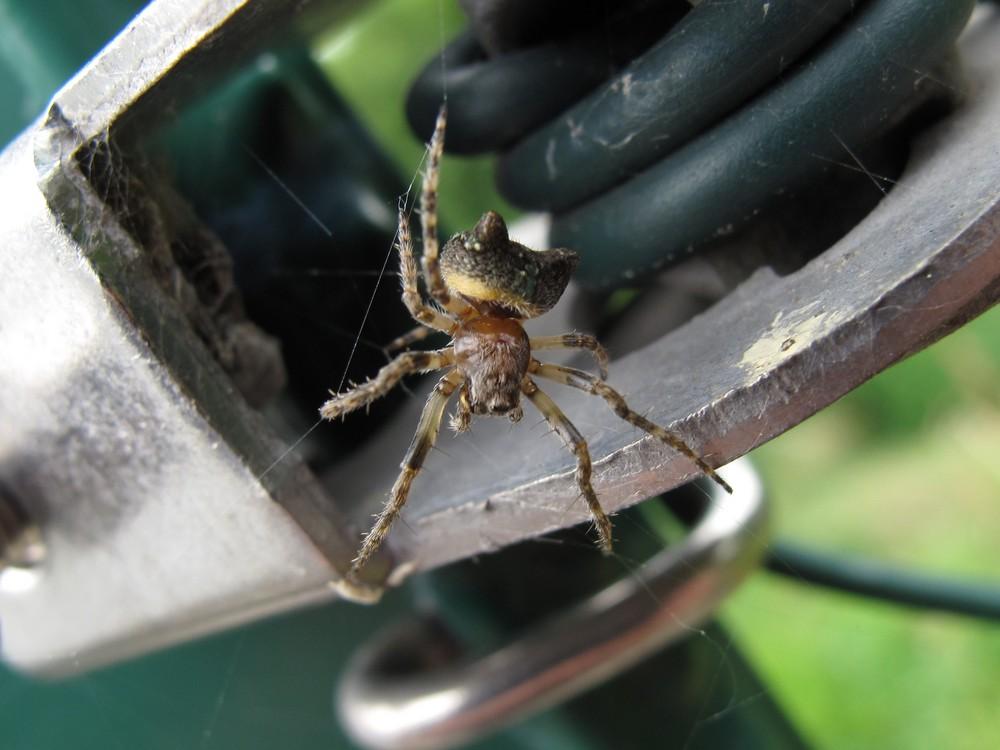 Spinne mit zwei Buckeln