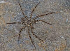 Spinne: Philodromus margaritatus. - Une araignée qui semble être aplattie...