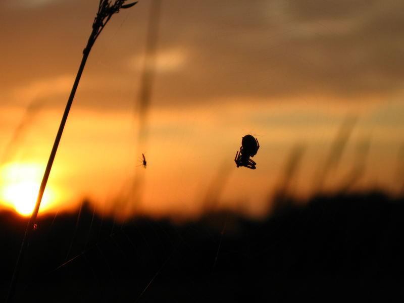 Spinne und Beute im Gegenlicht