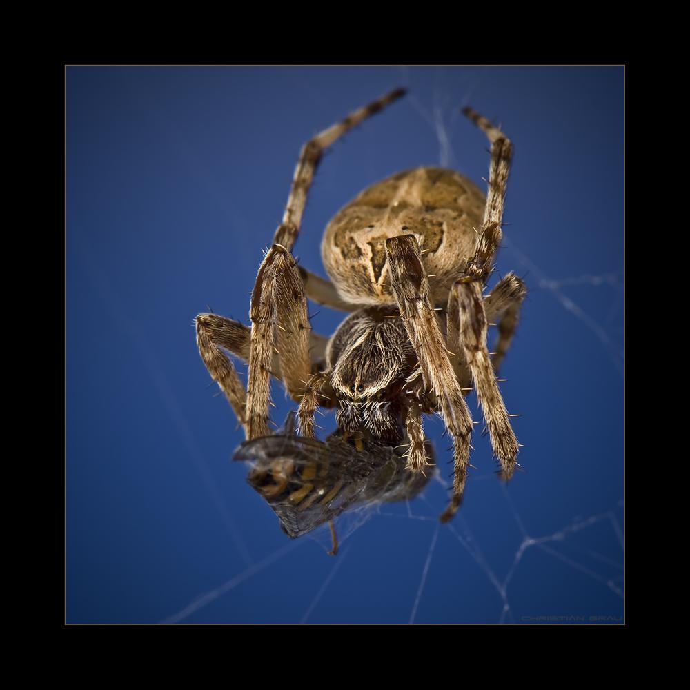 Spinne und Ex Wespe