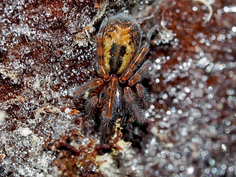 Spinne unter gefrorener Baumrinde! - Une araignée sous une écorce gelée!
