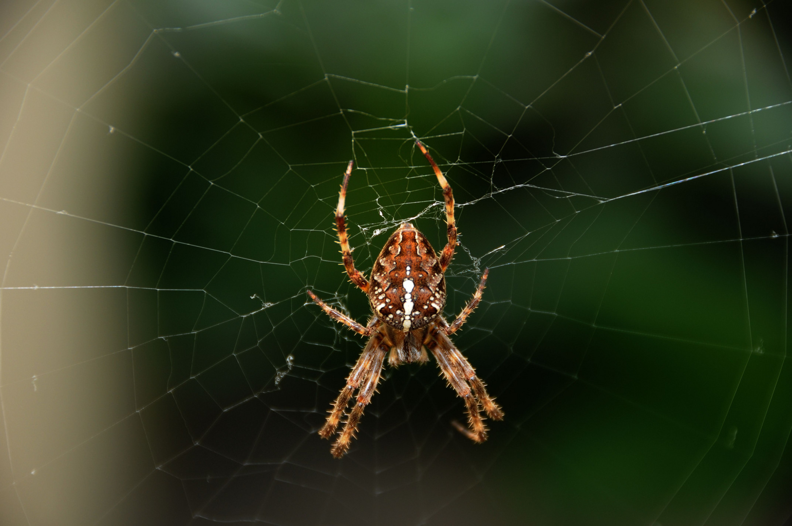 Spinne versperrt meinen Weg