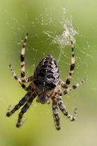 Spinne webt chaotisch