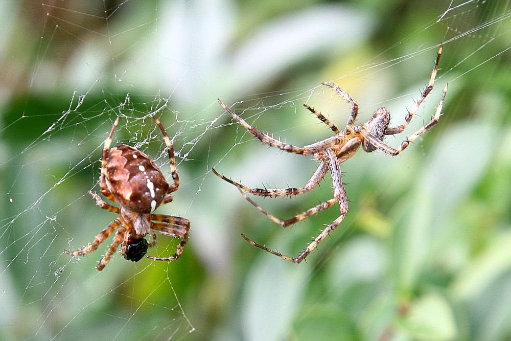 Spinnefeind?