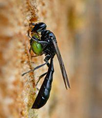 Spinnen-Grabwespe (Trypoxylon figulus) mit Kürbisspinne