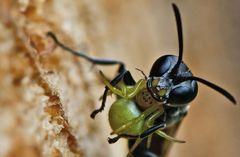 Spinnen-Grabwespe (Trypoxylon figulus) mit Kürbisspinne als Beute