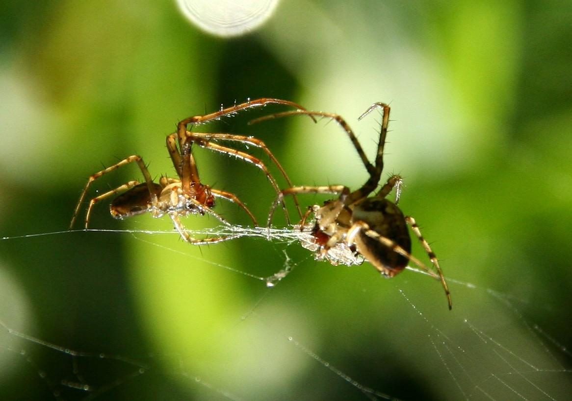 Spinnen im Kampf um Beute