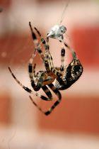 spinnen-spinnen