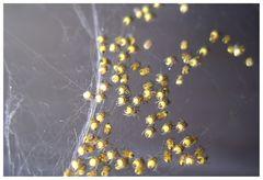 * Spinnenbabies *