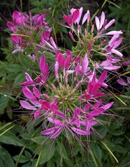 Spinnenblume ( Cleome spinosa )