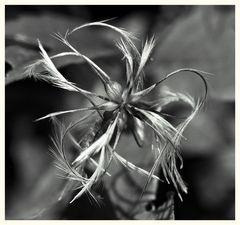 spinnenblume s/w