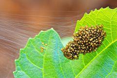 Spinnenbrut (1)